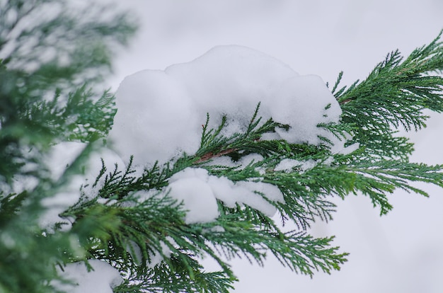 Winter scene with ice covered conifer