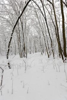 Зимний сезон в лесу или в парке с голыми деревьями, лиственными деревьями без листвы на снегу после метелей и снегопадов