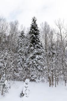 Зимний сезон года в лесу