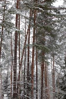 公園や森と松のもみに雪が降る冬の季節、公園や森の寒い冬の天候、松やトウヒの木、冬の針葉樹が霜に覆われる