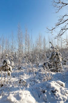 Зимний сезон со снегом в парке или лесу, холодная зимняя погода в парке или лесу на морозах, лиственные деревья без листьев в зимний сезон