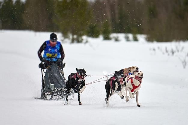Зимние собачьи гонки на собачьих упряжках. командные соревнования на собачьих упряжках. собаки-пойнтеры тянут сани с каюром