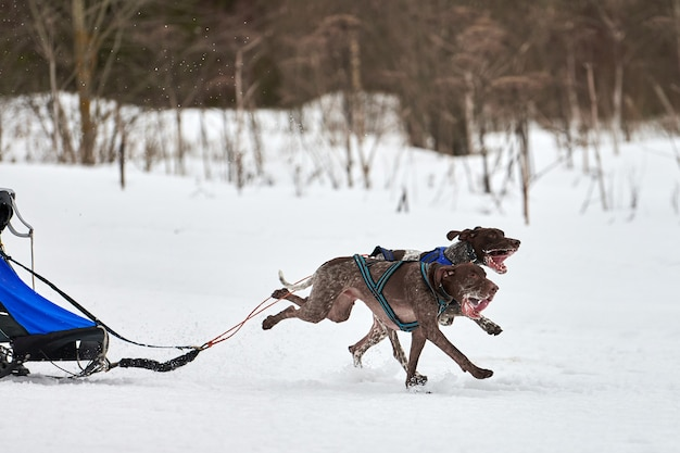 Зимние собачьи гонки на собачьих упряжках. командные соревнования на собачьих упряжках