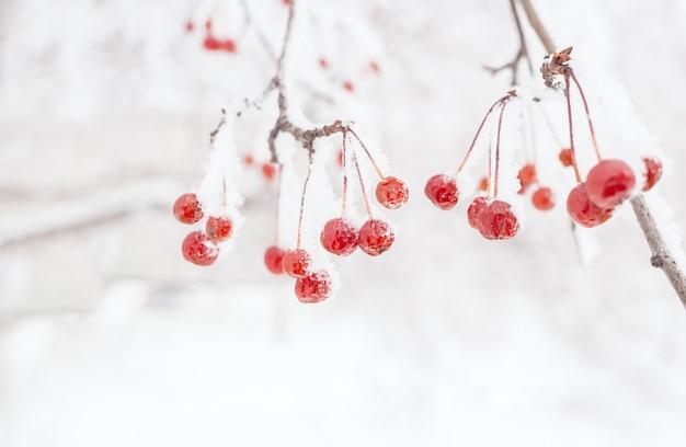 冬。小さな赤い冷凍胎児とコピーを持つ雪に覆われた野生のリンゴの木の枝。