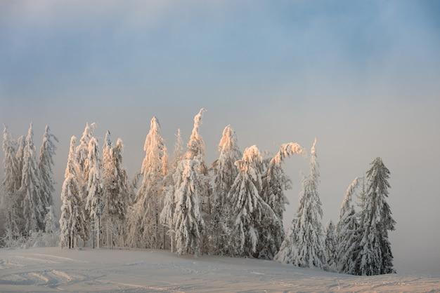 冬の雪は、太陽と青い空の山のモミの木をカバー