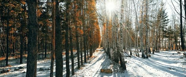 白樺と松の木の冬の雪の森。太陽光線が木々を通り抜けます。