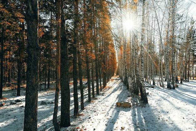 Зимний снежный лес из березы и сосны, сквозь деревья пробиваются солнечные лучи.