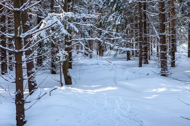 화창한 날씨에 침 엽 수와 겨울 눈 덮인 숲