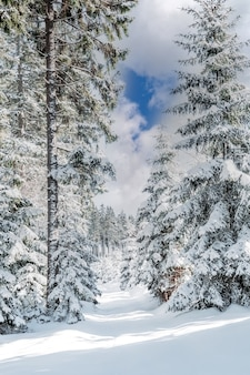 Winter snowy forest with conifers in sunny weather