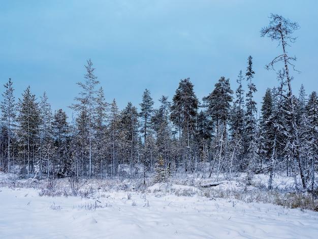 Зимний снежный северный лес в полярный день.