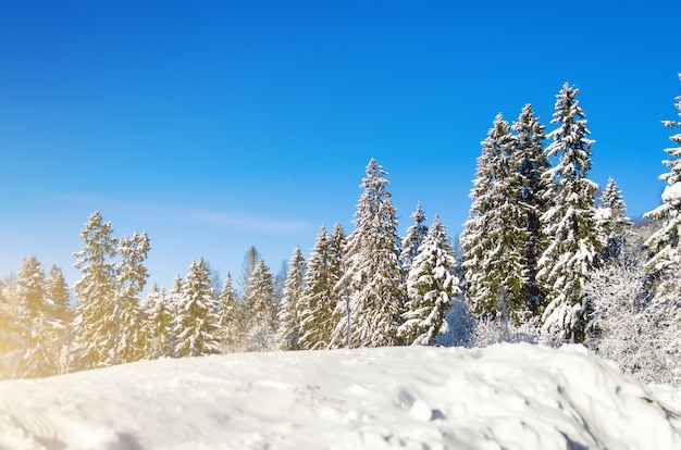 Winter species of snow covered branches of coniferous trees against a clear clear frosty sky.