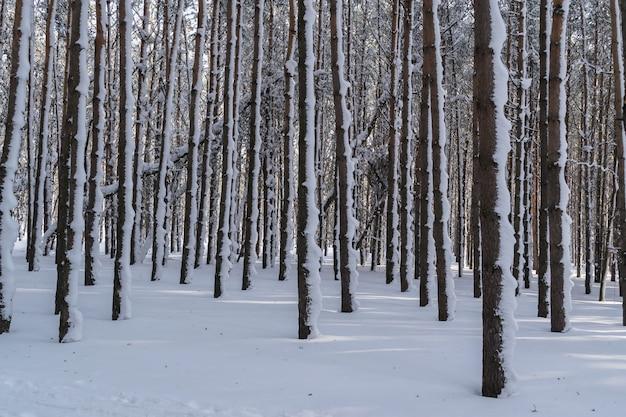 雪松林の冬の木の幹