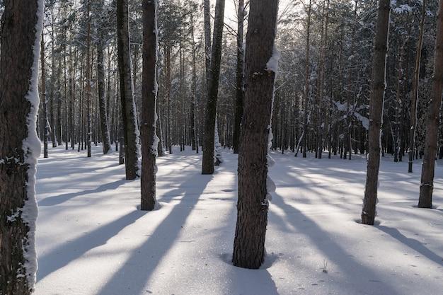 Зимние стволы деревьев в снежном сосновом лесу