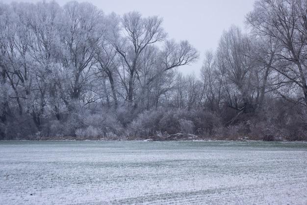눈 속에서 겨울 나무와 젊은 밀입니다.