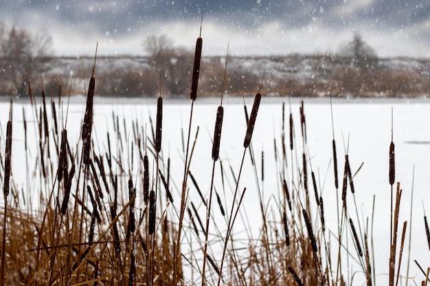 降雪時の川岸の乾燥した葦の冬の景色、川のある冬の風景、曇り空と降雪