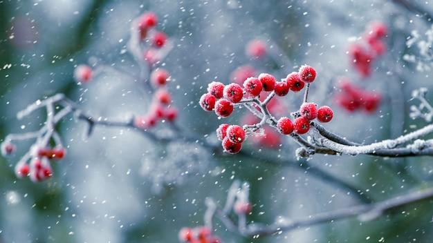 降雪時の赤いナナカマドの果実と冬の景色