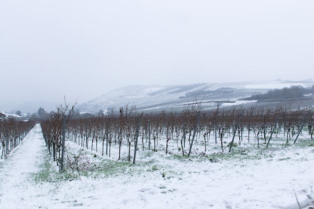 Зимний виноградник с заснеженной сельской местностью. европейский зимний пейзаж.