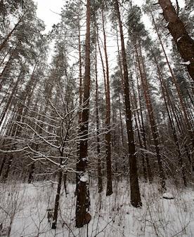 公園や森の冬の天候と松のもみ、冬のもみと松、降雪後の凍るような冬、長い松やもみ