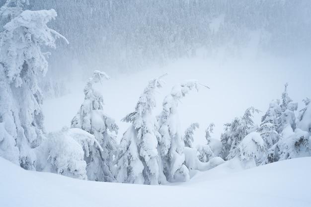 山のトウヒの森の雪の吹きだまりと霧のある冬の天気。雪の重みで曲がった木