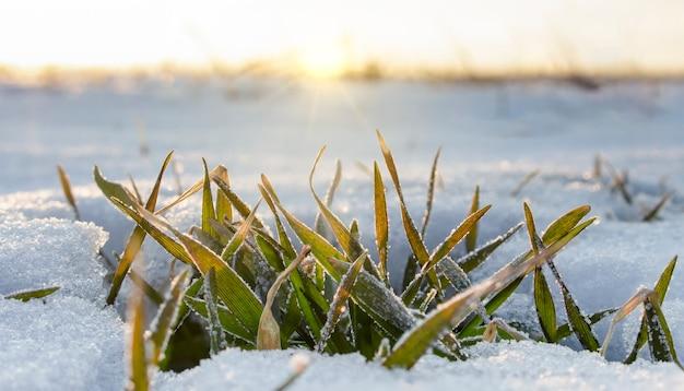 필드에 눈 아래와 겨울 밀 부시. 아침 햇살은 심한 서리로 얼어 붙은 나뭇잎에 밝은 빛을 비 춥니 다.
