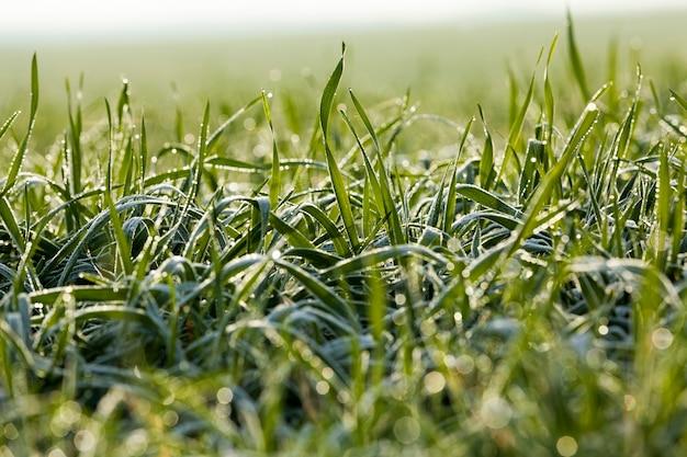 冬は氷の結晶と霜で覆われた冬小麦、霜が降りる日中の農地のクローズアップ