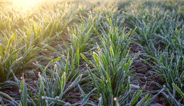 冬小麦の葉、農業分野の霜、凍った冬作物