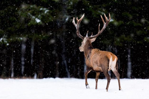 Winter wildlife landscape with noble deer