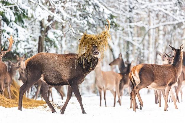 冬の森に対して高貴な鹿と冬の野生生物の風景。彼の角に干し草を持った大きな鹿。