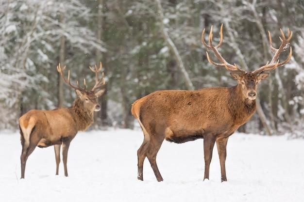 Winter wildlife landscape with noble deers cervus elaphus.