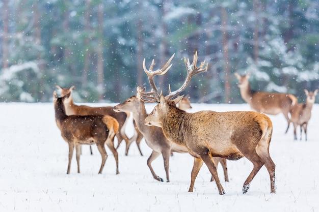 Зимний пейзаж дикой природы с благородными оленями зимой.