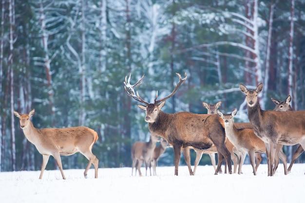 高貴な鹿と冬の野生動物の風景