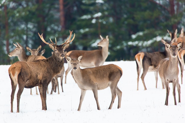 Winter wildlife landscape with noble deers