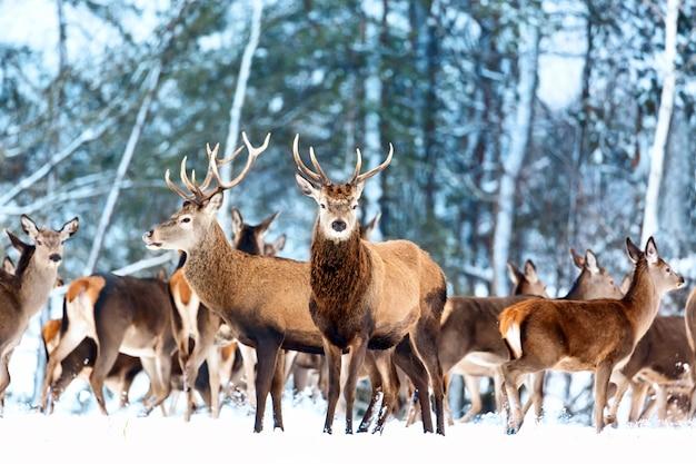 Зимний пейзаж дикой природы с благородными оленями