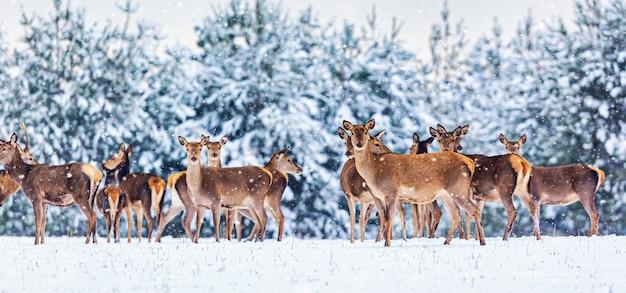 Зимний пейзаж дикой природы с молодой благородной группой оленей против зимнего леса. широкоформатное изображение баннера.