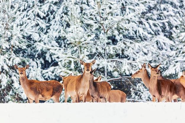 Зимний пейзаж дикой природы с молодой благородной группой оленей против зимнего леса.