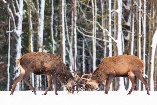 Зимняя дикая природа. два молодых благородных оленя cervus elaphus играют и дерутся рогами в снегу возле зимнего леса.