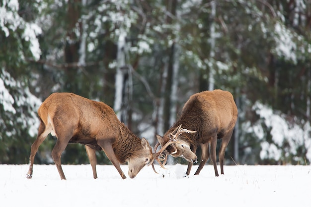 Winter wildlife. two young noble deers cervus elaphus playing and fighting with their horns in snow near winter forest.