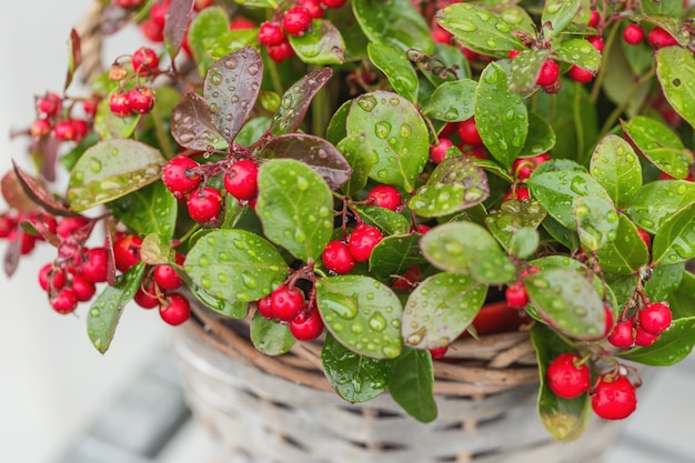 Wintergreen plant with red berries in a flower pot with raindrops