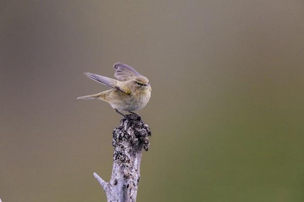 Svernamento chiffchaff comune phylloscopus collybita uccello appollaiato su un ramo di legno