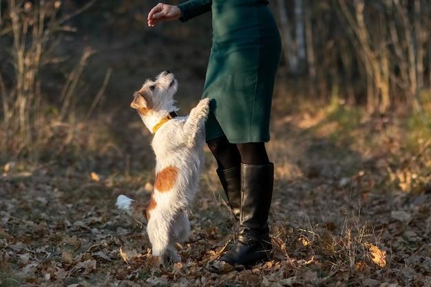秋の公園で女の子の足の前に立っているワイヤーヘアのジャックラッセルテリアの子犬