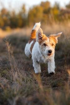 가을 들판에서 달리는 와이어헤어드 잭 러셀 테리어 강아지