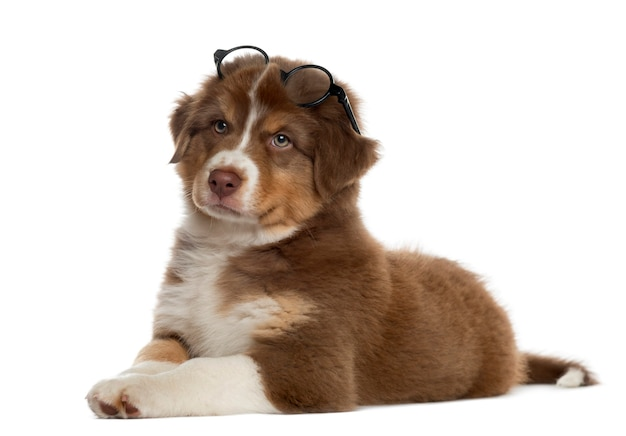 Мудрый щенок австралийской овчарки в очках, лежа на белом
