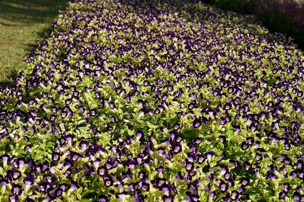 庭のウィッシュボーンフラワーブルーウィングストレニアフィールド