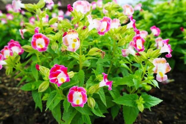 ウィッシュボーンの花、トレニアは一年中リリースできる二年生植物です