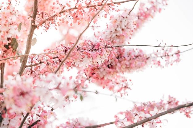 ウィッシングツリー、ピンクシャワー、ピンクカッシアはタイの美しいピンクの花です。