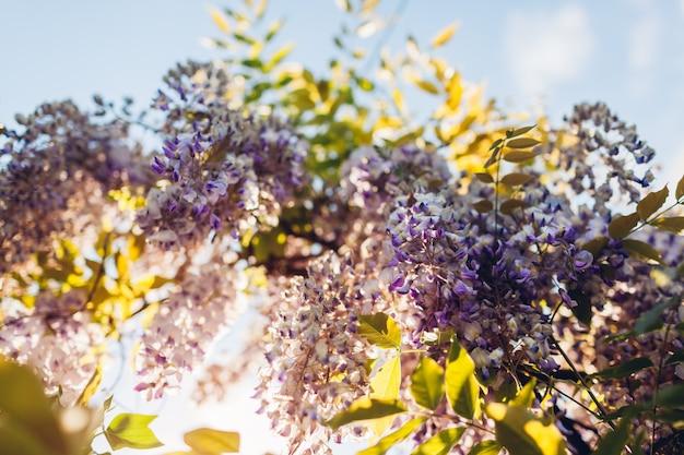 春の庭に咲く藤の花。フェンスからぶら下がっている藤の茂みのブドウの木。紫の夕日の花