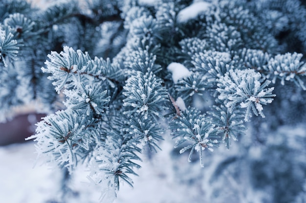 With snow-covered pine branch. christmas greeting card