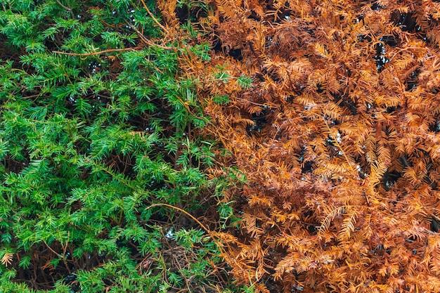시든 마른 thuja 헤지 (사이프러스, 주니퍼). 녹색 자연 배경의 원활한 질감입니다. 말린 죽은 thuja 나무의 울타리. thuja 텍스처입니다.