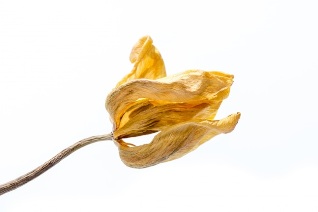 Withered flower. dried yellow tulip flower isolated on white background.
