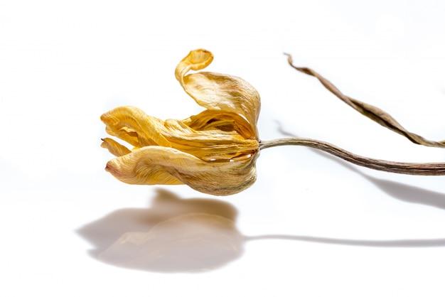 Увядший цветок. высушенный желтый цветок тюльпана над белой предпосылкой.